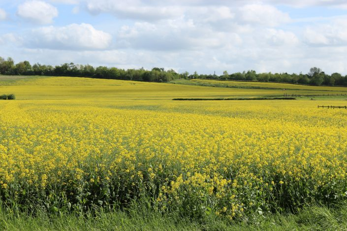 Oilseed Rape field By James Mason-Hudson (Own work) [CC BY-SA 3.0 via Wikimedia Commons